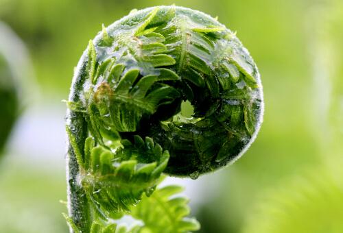 蕨菜的营养价值及功效与作用