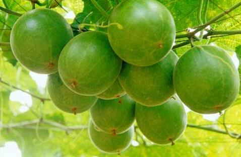 罗汉果的功效与作用及食用方法,罗汉果花的功效与作用
